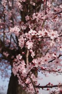 cherry-blossom-444402_960_720